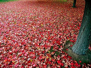 320px-Red_autumn_leaves
